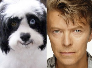 David Bowie's dog has brown and blue eyes - just like his late owner. IMAN SEEN OUT WALKING TODAY WITH MAX